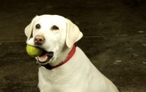 Are Tennis Balls Bad for Dogs' Teeth? - Last Chance Ranch ...
